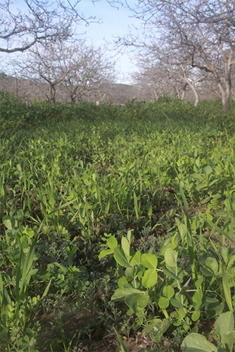A legume-based winter green manure in walnuts can be used to improve orchard health by increasing soil nitrogen. Photo: Agricultural Sustainability Institute