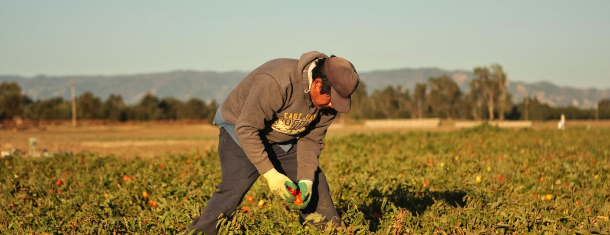 Farmworker in field of tomato plants